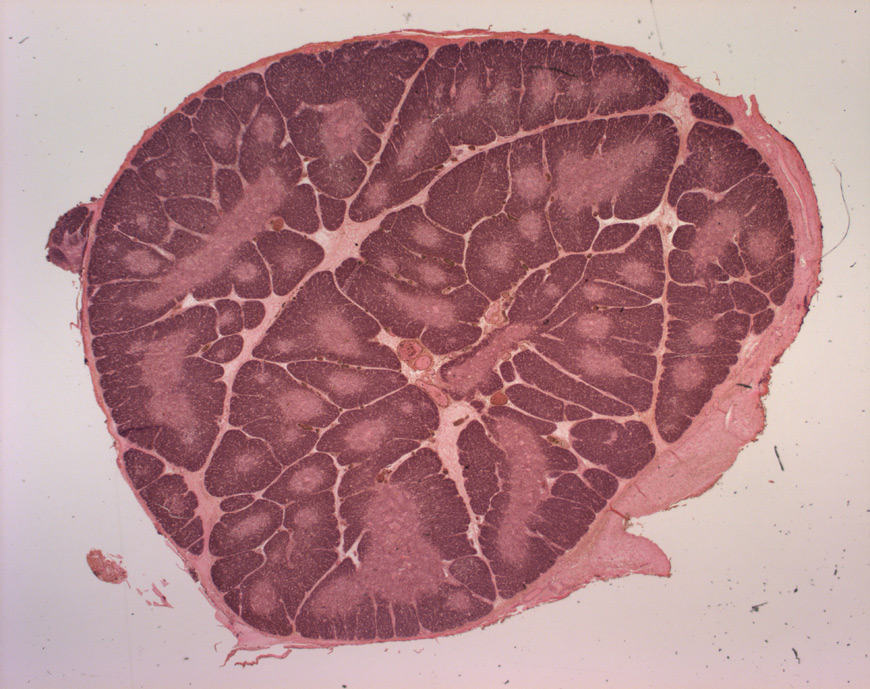 mephisto Histologische Präparate - Lymphsystem - Thymus