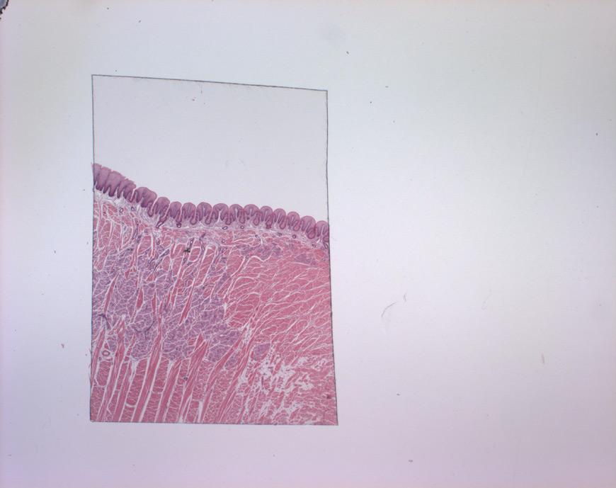 mephisto Histologische Präparate - Verdauungssystem - Zunge