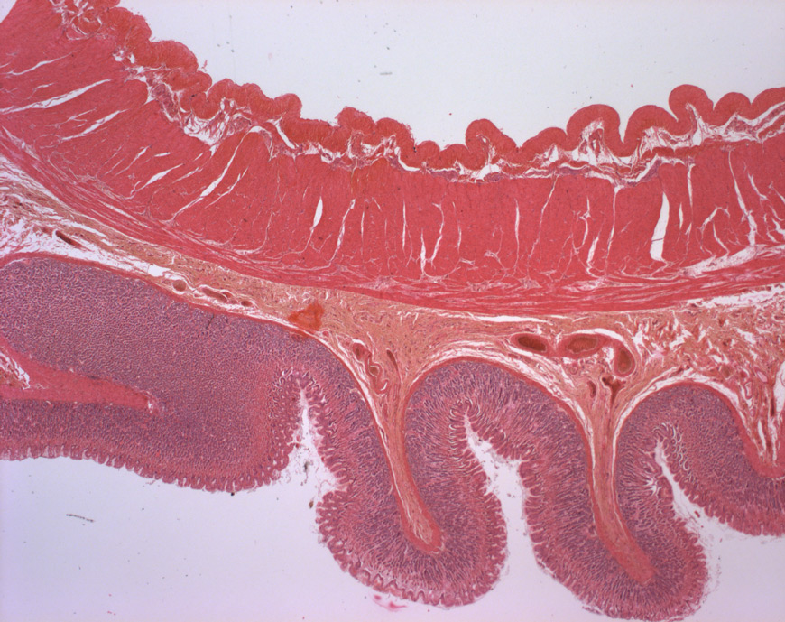 mephisto Histologische Präparate - Verdauungssystem - Magenfundus