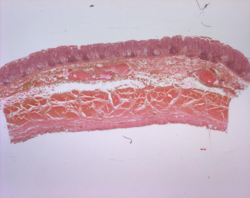 mephisto Histologische Präparate - Verdauungssystem - Magenpylorus