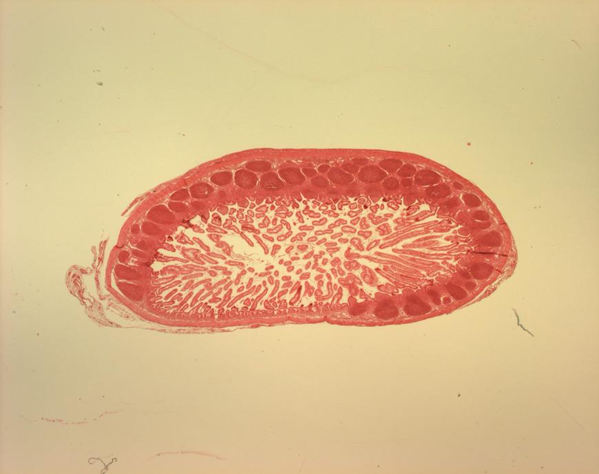 mephisto Histologische Präparate - Verdauungssystem - Ileum